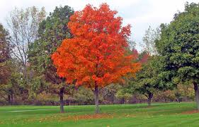 Picture of a maple that is red during fall.