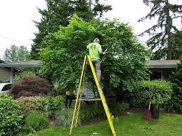 Picture of a tree being trimmed with a man on a ladder from a tree service company